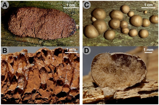 Pseudoaethalia and aethalia in Reticulariidae.A.Tubifera ferruginosa, pseudoaethalium seen from above. B. Vertical section showing sporangia surrounded by peridia; note the lack of capillitium in the spore mass. C.Lycogala epidendrum, aethalia seen from above. D. Vertical section of the same, with the spore mass blown away and the abundant pseudocapillitium. Scales and colours are approximate. Credit photos: Michel Poulain.