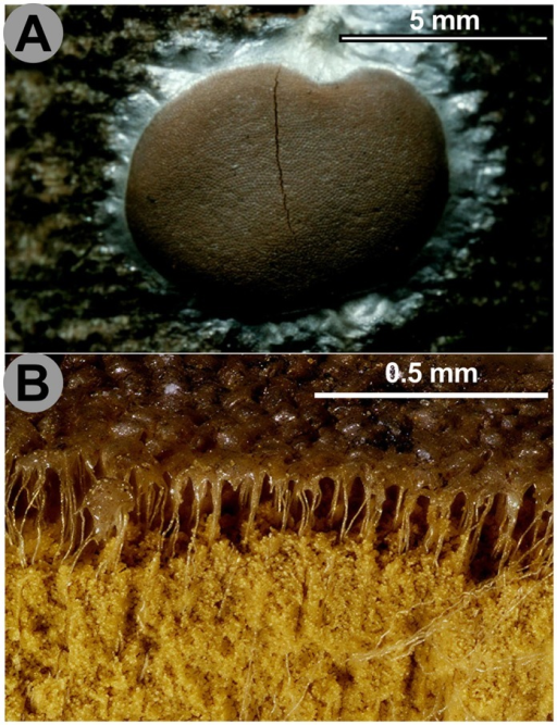 Pseudoaethalium of Dictydiaethalium plumbeum.A. Pseudoaethalium seen from above. B. Vertical section with the spore mass partially blown away, showing the renmants of the peridia as hexagonal caps on the upper surface and vertical fine threads connecting them to the base of the fructification. Scales and colours are approximate. Credit photos: Michel Poulain.
