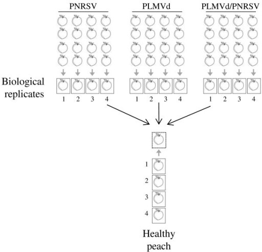 Experimental design for microarray hybridizations. Samples tested positive for either PNRSV, PLMVd, both pathogens simultaneously, or healthy controls were analysed in four independent biological replicates and two technical replicates (dye swaps: Cy3-healthy/Cy5-infected or Cy3-infected/Cy5-healthy). Each biological replicate (numbered 1 to 4) for each infection and healthy plants consisted of a pool of four infected peach fruits from four different trees. The different sets of probes were hybridized to a cDNA microarray representing all the unigenes in the ChillPeach database. In detail, microarray hybridizations were performed by hybridizing each virus infected biological replicate and the healthy control replicate to an array resulting in a total of 16 hybridizations. Dye swaps were performed for two of the four replicates of each infection.
