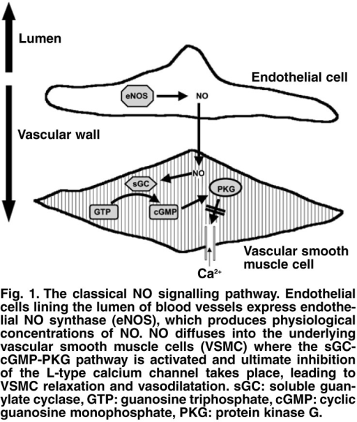 The classical NO signalling pathway. Endothelial cells lining the lumen of blood vessels express endothelial NO synthase (eNOS ), which produces physiological concentrations of NO . NO diffuses into the underlying vascular smooth muscle cells (VSMC) where the sGCcGM P-PKG pathway is activated and ultimate inhibition of the L-type calcium channel takes place, leading to VSMC relaxation and vasodilatation. sGC: soluble guanylate cyclase, GT P: guanosine triphosphate, cGM P: cyclic guanosine monophosphate, PKG: protein kinase G.