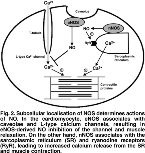Subcellular localisation of NOS determines actions of NO . In the cardiomyocyte, eNOS associates with caveolae and L-type calcium channels, resulting in eNOS-derived NO inhibition of the channel and muscle relaxation. On the other hand, nNOS associates with the sarcoplasmic reticulum (SR ) and ryanodine receptors (RyR), leading to increased calcium release from the SR and muscle contraction.