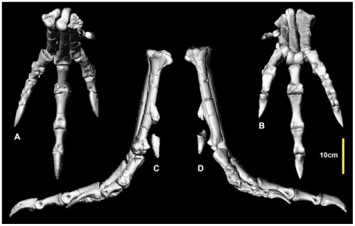 Reconstructed right metatarsus and pes.Reconstructed right metatarsus and pes in: dorsal (A); ventral (B); medial (C) and lateral (D) views.