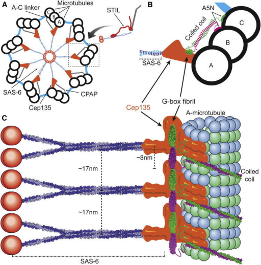 The Role of CPAP/SAS-4 in the Centriole Ultrastructure(A) Schematic top view of the centriolar assembly, showing the SAS-6 cartwheel, pinheads (orange) connecting the cartwheel to microtubule triplets, and our proposed location of CPAP (gray). STIL may act as transporter of SAS-6 and CPAP to the growing centriole.(B) View of an area close to microtubules, boxed in (A). The end of the SAS-6 spoke connects to the pinhead, where Cep135 locates. Cep135 interacts with the CPAP C terminus (green), whereas the CPAP coiled coil projects parallel to the microtubule triplet. The microtubule-interacting epitope of CPAP (A5N) can form connections to the B-tubule and C-tubule.(C) Side view of a centriole section, showing the vertical spacing of SAS-6 spokes as they merge together, the pinhead and A-tubule connection, as well as our proposed fibril of CPAP G-box domains crosslinking cartwheel stacks on the vertical axis.