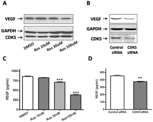 A, Pretreatment with roscovitine significantly decreased VEGF expression in GH3 cells. Blots were reprobed with anti- GAPDH antibody to en sure equal loading; 5B, Effect of Cdk5 siRNA on VEGF expression in GH3 cells. Blots were reprobed with anti- GAPDH antibody to en sure equal loading; 5C, Quantification of the level of VEGF secretion from vehicle or roscovitine-treated GH3 cells. Reduction of VEGF secretion were detected in roscovitine-treated GH3 cells compared with vehicle group; 5D, Quantification of the level of VEGF secretion from control siRNA or CDK5 siRNA-transfected GH3 cells. Reduction of VEGF secretion were detected in CDK5 siRNA-transfected GH3 cells compared with vehicle group. VEGF secretion was quantified as by ELISA as described above. Data represents means ± SEM of three independent experiments. one-way ANOVA was performed to determine the significance (**p < 0.01 and ***p < 0.001).