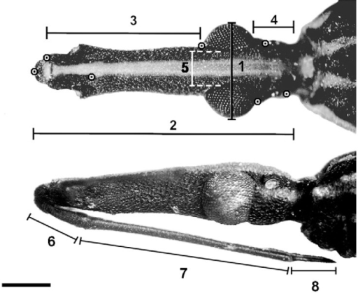 : dorsal (top) and lateral (bottom) views of a Rhodniusbarretti head, showing linear measurements (1-8) (Table) andlandmarks (target spots) used in morphometric analyses. Bar = 1 mm.
