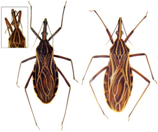 : Rhodnius barretti (left) and sympatric Rhodniusrobustus s.l. (right) from north-eastern Ecuador: general aspect ofadult specimens in dorsal view. The inset shows the head and pronotum of anatypical, paler form of  R. barretti.