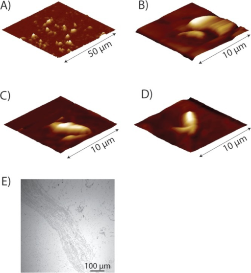 AFM imagesof the different stages of surface and tip manipulations.(A) Large scan area with D314Az mutant bacteria. (B–D) Scansof single bacterium used in electrochemical measurements of V66Az(B), D314Az (C), and WT (D). (E) Light microscopy images of bacteriaattached to the gold substrate.