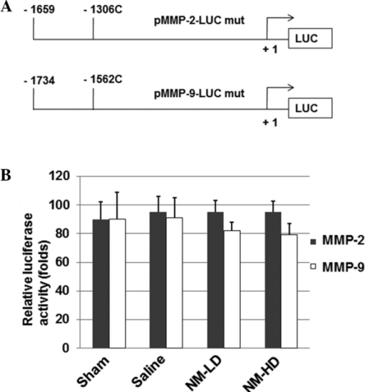 Site-directed mutations on human MMP-2 and MMP-9 promoters abolish the effect of NM. (A) The −1306 C/T and −1562 C/T mutations were generated on the luciferase constructs. (B) HeLa cells were co-transfected with 1 μg mutant pMMP-2-LUC or mutant pMMP-9-LUC construct in addition to 1 μg pCMV-β-galactosidase construct. After 4 h, cells were treated with vehicle only (sham group), saline (saline group), 100 μg/ml NM (NM-LD group) or 500 μg/ml NM (NM-HD group). Luciferase and β-galactosidase activity was determined and the luciferase activity of each sample was normalized to β-galactosidase activity. Data are the mean ± standard deviation from at least five experiments. NM, nutrient mixture; MMP, matrix metalloproteinase; LD, low dose; HD, high dose; C/T, C to T; LUC, firefly luciferase gene.