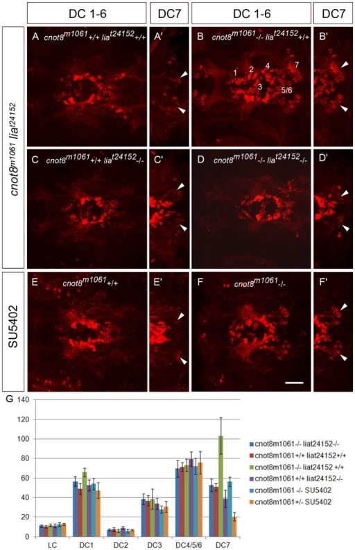 fgf3/lia FGF signaling mediates the increase in caudal hypothalamic DC7 DA neurons in cnot8m1061 mutant embryos.(A–F) Analysis of DA neurons in cnot8m1061 mutant embryos combined with a mutation in the fgf3 locus (liat24152) or pharmacological suppression of FGF signaling by SU5402. Embryos were fixed at 4 dpf, stained by anti TH immunofluorescence and DA neurons documented by confocal microscopy. Shown are Z-projections of confocal stacks representing the ventral diencephalic DA groups 1 to 7 (dorsal views). Scale bar 50 µm. (A–D) DA neurons in WT, cnot8m1061 or liat24152 single mutant, and cnot8m1061, liat24152 double mutant embryos. Double mutant embryos show loss of cnot8m1061-mediated increase of DC7 caudal hypothalamic DA neurons. (E, F) DA neurons in WT and cnot8m1061 mutant embryos treated with SU5402 from 42 to 48 hpf. Inhibition of FGF signaling by SU5402 reduces the number of DC7 caudal hypothalamic DA neurons in cnot8m1061 mutants below WT levels. (G) Quantification of effects on CA neurons by cell counting of forebrain DA neuronal clusters and locus coeruleus NA neurons in genetic and experimental conditions as indicated in the index at right. Each bar shows the average number of CA neurons in five independent embryos for each experimental condition. Error bars indicate standard deviation. Average DC7 cell numbers: cnot8+/+ lia +/+ 50.8 (WT control); cnot8-/- lia +/+ 103.2; cnot8-/- lia -/- 52.6; cnot8+/+ lia -/- (38.8); cnot8+/+ SU5402 20.6; cnot8-/-SU5402 56.2. Significance was evaluated by Mann-Whitney test. The cell count in single mutant cnot8m1061 (-/-)liat24152 (+/+) is significantly different from single mutant cnot8m1061 (+/+) liat24152 (-/-) embryos (p = 0.008). Comparison of cnot8m1061, liat24152 double mutant and WT embryos reveal no significant difference (p = 0.45). For SU5402 treatments, the number of DC7 DA neurons differs significantly between WT controls and SU5402 treated WT (p = 0.008) and between cnot8m1061 and SU5402-treated cnot8m1061 embryos (p = 0.008). For all other catecholaminergic groups, no significant differences were observed when WT was compared to single mutants, double mutants, or SU5402-treated embryos.