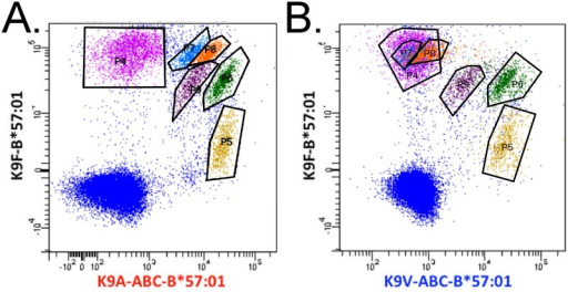 Immunization of an HLA-B*57:01 donor with the yellow fever vaccine results in the expansion of populations of CD8+ T cells that detect both the wild type epitope and abacavir dependent variant epitopes.T cells expanded from a yellow fever vaccinated B*57:01 donor were labelled with anti-CD3 and CD8 and a mixture of K9F-B*57:01-PE, K9A-ABC-B*57:01-APC, and K9V-ABC-B*57:01-BV421 tetramers. CD8+ T cells were gated and the combination of K9F-B*57:01-PE and K9A-ABC-B*57:01-APC tetramer stained CD8+ T cells are shown in A. Subpopulations of tetramer stained cells are gated: P4 (pink); P5 (yellow); P6 (green); P7 (blue); P8 (orange); P9 (purple). The combinations of K9F-B*57:01-PE and K9V-ABC-B*57:01-BV421 tetramer stained CD8+ T cells are shown in B. The colors identify the position of the gated tetramer stained populations in panel A.
