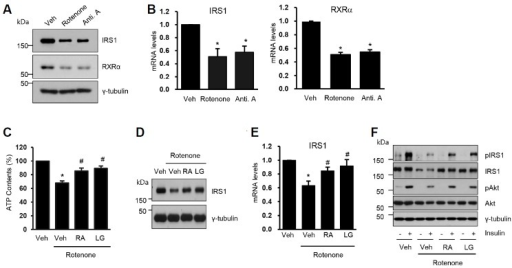 RXRα agonists restore mitochondrial function and IRS transcription impaired by rotenone. C2C12 myoblasts were differentiated to myotubes and treated with rotenone (3 μM) or antimycin A (10 μM) for 24 h. (A) Cells were lysed and then Western blot analyses were performed with the specific antibodies. (B) Total RNAs were isolated and real time quantitative PCR was performed. The mRNA levels of each gene were normalized by that of GAPDH. The value of Veh was set to 1 and the others were expressed as the relatives to that. The data are the means ± SEM of 3 experiments. *, P < 0.05 vs. Veh. (C-F) C2C12 myotubes were treated with rotenone (3 μM) for 24 h and then the media was replaced to the fresh media containing DMSO (Veh), 9cRA (5 μM) or LG1506 (2 μM) for 18 h. (C) Cells were lysed and ATP contents were measured (n = 6). *, P < 0.05 vs. Veh; #, P < 0.05 vs. rotenone only. (D) Cell lysates were subjected to Western blot analysis. (E) The IRS1 mRNA levels were measured by real time PCR (n = 5). *, P < 0.05 vs. Veh; #, P < 0.05 vs. rotenone only. (F) Insulin (100 nM) was added 15 min before harvesting. Cell lysates were subjected to the Western blot analysis.