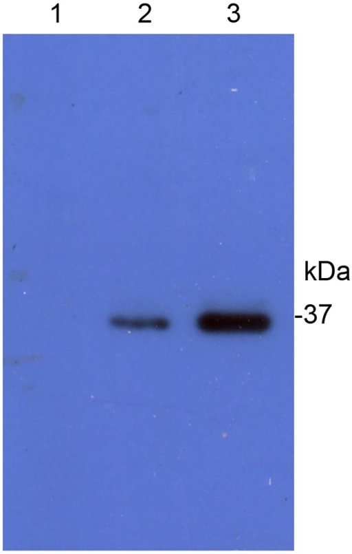 Binding of Cry1Ac to purified ALP fragment (HaALP1f) in ligand blot.The proteins transferred to a PVDF membrane were probed with activated Cry1Ac toxin and detected by a polyclonal anti-Cry1Ac antibody. Lane 1: lysates of E.coli cells transformed with the empty pET28a+ vector; Lane 2: lysates of E. coli cells transformed with HaALP1f-pET28a+ construct, Lane 3: purified HaALP1f from E. coli cells transformed with HaALP1f-pET28a+ construct.