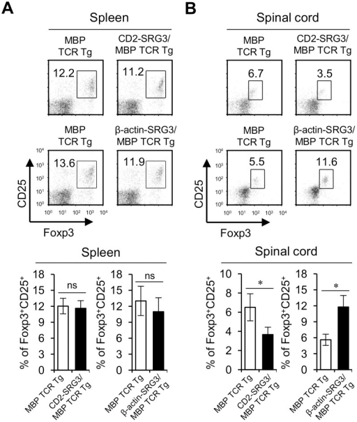 Infiltration of Treg cells into the spinal cord was dramatically increased in β-actin-SRG3 Tg mice compared to CD2-SRG3 Tg mice during EAE pathogenesis.(A) Splenocytes and (B) MNCs were prepared from the spinal cord of both MBP TCR Tg B10.PL mice and CD2-SRG3/MBP TCR double Tg B10.PL mice immunized with MBP to induce EAE. The percentages of CD25+FoxP3+ Treg cells among the total CD4+ T cell population in splenocytes and MNCs were evaluated via flow cytometry (upper panel). Alternatively, splenocytes and MNCs were prepared from the spinal cord of both MBP TCR Tg B10.PL mice and β-actin-SRG3/MBP TCR double Tg B10.PL mice immunized with MBP to induce EAE. The percentages of CD25+FoxP3+ Treg cells among the total CD4+ T cell population in splenocytes and MNCs were evaluated via flow cytometry (lower panel). The mean values ± SD are shown (n = 5; *P<0.05).