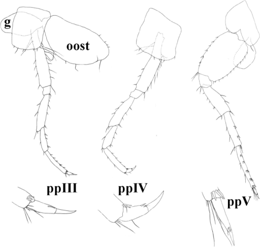 Niphargusmolnari, ppIII = pereopod III, ppIV = pereopod IV, ppV = pereopod V, g = gill, oost = oostegit.