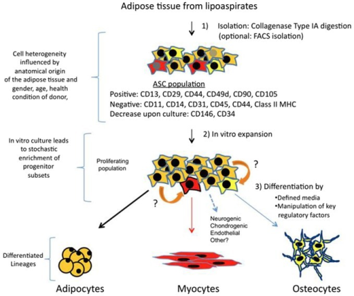 Isolation, expansion and differentiation of ASCs. Adipose tissue is obtained from lipoaspirates but it can also be obtained from other surgeries. Upon digestion with collagenase type IA followed by centrifugation; the pellet obtained is known as SVF. SVF is a mixture of several types of progenitors and more differentiated cells. A majority of cells (90–100%) are positive for mesenchymal stem cell surface markers, and this fraction is the ASCs. Other markers such as CD146 and CD34 are more controversial, and may represent subsets of other progenitors, which vary in their ratios depending on anatomical origin of fat and other parameters related to donors. In vitro culture of this proliferating population, which can arrive to 70 PDs, can also alter percentages of specific progenitors. Therefore, differential expression of CD markers and their fluctuations may represent a heterogenic composition of ASCs, which contain subsets of multipotent cells that can respond to differentiation cues of other lineages (represented in red and yellow). Adipocyte is the main lineage obtained from ASCs, however, upon culture with defined media, or by ectopically expressing specific factors, myogenic, osteogenic and other lineages can also be obtained. It is also possible that progenitors can transdifferentiate (indicated by orange arrows) in response to lineage specific cues.
