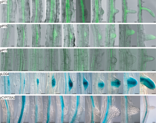 Spatio-temporal expression of selected cytokinin synthesis genes during LR development. A developmental sequence of the expression pattern of promoters of cytokinin metabolism genes is shown from left to right starting with stage I LRP to emerged LR. The respective promoter is indicated in the upper left corner of each picture series. Three-day-old seedlings were stained with GUS reaction buffer for 1h and cleared. GFP expression was analysed in 5-d-old seedlings using a confocal laser scanning microscope. Part of the root staining pattern reporting expression of the cytokinin metabolism genes shown here have been published before (Werner et al., 2003; Takei et al., 2004b; Kuroha et al., 2009; Kiba et al., 2013). Scale bars is 50 μM (this figure is available in colour at JXB online).