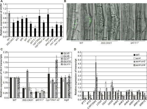Interaction between the cytokinin and ACR4 signalling pathways on gene expression level. (A) ACR4 expression analysis by qPCR in the roots of 11-d-old different cytokinin-deficient seedlings. (B) ACR4::H2B:YFP expression (green signals) is visible in LRP of wild type (WT) but is absent in cytokinin-deficient plants. Scale bar is 20 µM. (C) GLV gene expression analysis by qPCR in the roots of 11-d-old different cytokinin-deficient seedlings. (D) Transcript profiles of cytokinin metabolism and signalling genes in roots of 11-d-old acr4 single and double mutants. Error bars represent SEM from three (A) or two (C, D) biological replicates. Each biological replicate contained roots from at least six individual plants. In all cases the expression level of wild type was set to 1 and the statistical significance of differences of expression values in mutants compared to wild type was determined by Student's t-test (*P < 0.05) (this figure is available in colour at JXB online).
