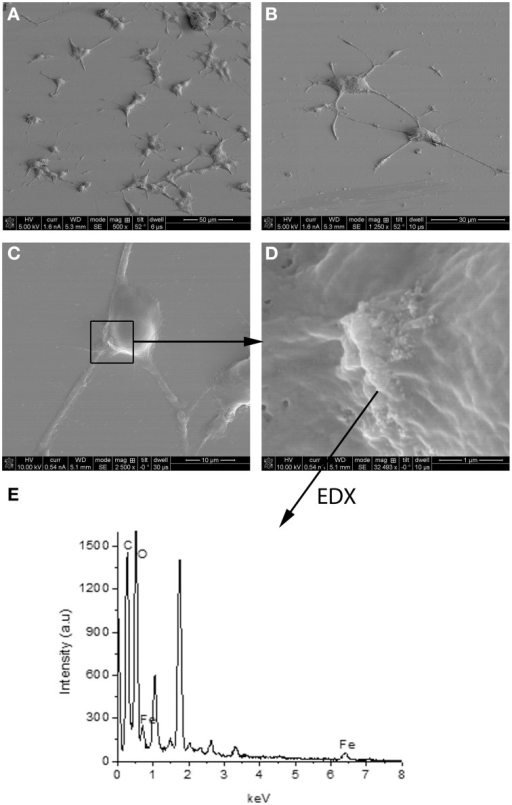 SEM image of PC12 cells incubated 72 h with NGF:PEI-NPs (A–D). PC12 cells grew neurites confirming differentiation due to NGF (A–C). Box in (C) points to NPs bound to the cell surface, (D) illustrates higher magnification of NPs and area of EDX analysis shown in (E).