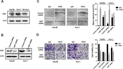 HGF knockdown reduced the inhibitory effect of HS20 in HCC cells.(A)Western blots to examine the expression of HGF in Hep3B, Huh-7 and SK-hep1 cells. (B) Western blots to examine the knockdown efficiency of HGF. (C) Hep3B cells and Huh-7 cells with HGF knockdown were treated with 50 μg/mL human IgG or HS20. Cell migration ability was then measured with a wound healing assay. The open wound area at 0 hours was regarded as 100%. Scale bar indicates 400 μm. Values represent mean ± SD from three replicates. P**<0.01 compare to IgG group. (D) Hep3B cells and Huh-7 cells with HGF knockdown were treated with 50 μg/mL human IgG or HS20. A Trans-well assay was performed to examine cell motility. The OD590nm value of control siRNA group with IgG treatment was set up as 100%. Scale bar indicates 50 μm. Values are mean ± SD from three replicates. P*<0.1 and P***<0.01 compared to the IgG group.