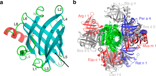 (a) The ribbon representation for monomeric Bos d 2. The eight antiparallel β-strands (A–H) forming a central barrel are shown as cyan arrows. The β-strand (I) outside the barrel is in green. The α-helix is in red and loops connecting different secondary structure elements are labelled L1 to L8. The black arrow shows the entrance to the ligand binding pocket (b) The monomers of 9 different lipocalin allergens which form symmetric homodimers are superimposed to observe the orientation of the second monomer. The superimposed monomers are in green and grey, blue and red colours are used for the second monomers.