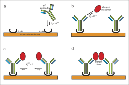 The sketch for the initial events leading to the allergen triggered signal transduction.(a) allergen-specific IgE serum antibodies bind to FcεRI receptors on the surface of mast cells or basophils with high affinity. (b) allergen exposure leads to a binding of monomeric allergens to specific IgE antibodies already bound to FcεRI receptors. (c) tethering of monomeric allergens on the cell surface results in dimerization of allergen monomers. The 2-dimensional dissociation constant for allergen dimers on the cell surface is not known. (d) the allergen dimerization has cross-linked FcεRI bound IgE antibodies that lead to the signal transduction.