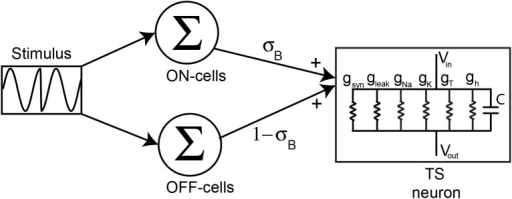 Modeling TS neuron responses to natural electrocommunication stimuli.Our model consists of summing the population-averaged responses of ON and OFF-type ELL pyramidal neurons with weights σB and 1-σB, respectively, and giving the resulting signal as synaptic input to a model TS neuron that includes various membrane conductances that were modeled using the Hodgkin-Huxley formalism: leak gleak, spiking sodium gNa, delayed rectifier potassium gK, T-type calcium gT, hyperpolarization activated inward rectifier gh.