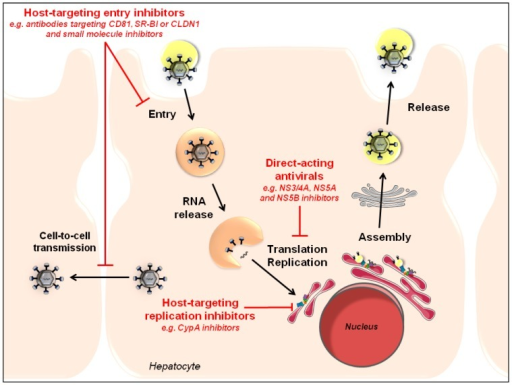 Synergy between HTAs and DAAs to inhibit HCV infection at different steps of the viral life cycle. Given their complementary mechanism of action, HTAs and DAAs can act in a synergistic manner to reduce viral loads and to prevent viral resistance. Different classes of HTAs and DAAs that have been evaluated in combination are highlighted in red.
