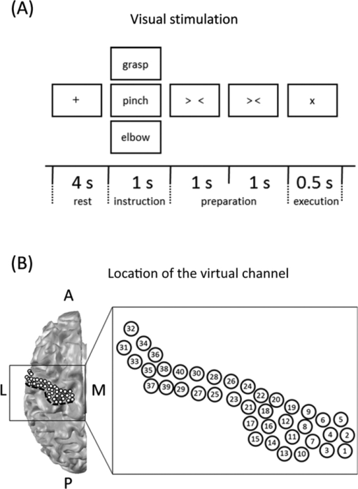 "Task paradigm and location of virtual channels.(A) Experimental paradigm. Subjects performed the motion and imagined tasks in the same sequence. The trial consisted of four phases; the rest phase, instruction phase, preparation phase, and execution phase. In the rest phase, a black fixation cross ""+"" was presented for 4 s. Subjects fixed their eyes on the cross. In the instruction phase, a Japanese word representing one of three movements was presented for 1 s. Then, in the preparation phase, two timing cues, ""> <"" and ""> <,"" were presented one at a time, each for 1 s to aid the subjects in preparing for the execution of real or imagined movements. In the execution phase, subjects performed the real or imagined movement, as requested in the instruction phase stage, after the appearance of the execution cue ""×."" Each of the three movements was performed 60 times. (B) Locations of the virtual channels are indicated by white dots on a three-dimensional brain model. Forty virtual channels were located on the left cM1 at intervals of 2.5 mm. The black dotted line indicates the location of the central sulcus. A, anterior; L, lateral; M, medial; P, posterior."