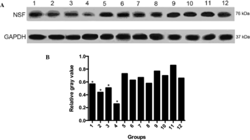 Protein expression levels of NSF. (A) Western blot analysis of NSF protein. (B) Relative gray values. Lane 1, experimental group 0 h; 2, experimental group 24 h; 3, experimental group 48 h; 4, experimental group 72 h; 5, negative control 0 h; 6, negative control 24 h; 7, negative control 48 h; 8, negative control 72 h; 9, blank control 0 h; 10, blank control 24 h; 11, blank control 48 h; 12, blank control 72 h. GAPDH served as the internal control. NSF, N-ethylmaleimide sensitive factor; GAPDH, glyceraldehyde 3-phosphate dehydrogenase. *P<0.05 compared with the negative control.