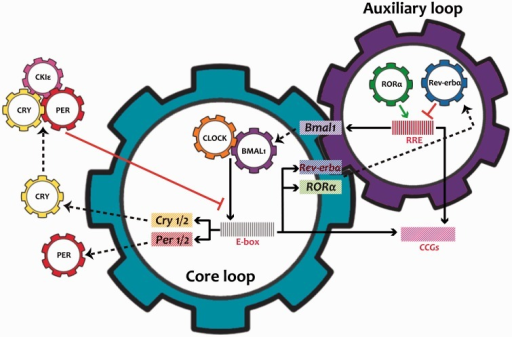 Molecular mechanisms of the clock. The mammalian circadian oscillator is composed of an autoregulatory transcriptional network with two interlocked feedback loops: core and auxiliary. The CLOCK/BMAL1 heterodimer, the integral component of the core loop, induces E-box mediated transcription of the negative regulators Periods (PERs) and Cryptochromes (CRYs). Accumulated PER and CRY proteins intensively repress E-box mediated transcription until their levels have sufficiently decreased. Additionally, another regulatory loop is induced by CLOCK:BMAL1 activating transcription of the nuclear receptors RORa and Rev-erba, which modulate Bmal1 mRNA levels by competitive actions on the RRE element residing in the Bmal1 promoter. Collectively, the cycling of the clock components also determines the levels of the clock-controlled genes (CCGs) by transcription via the E-box or RRE to achieve their oscillating patterns and thus to generate rhythmic physiological output.