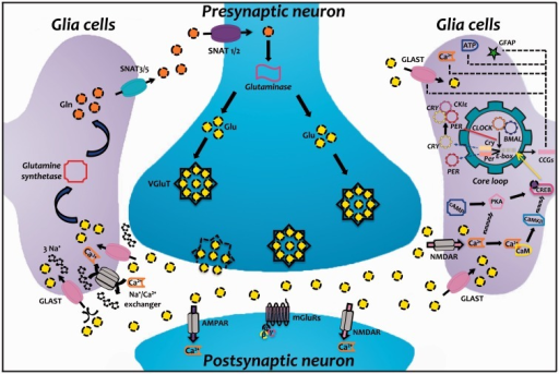Model of a glutamatergic synapse and the molecular circadian clockwork. In the presynaptic neuron, glutamine (Gln) is converted to glutamate (Glu) by Glutaminase and packaged into synaptic vesicles by the vesicular glutamate transporter (VGluT). After its release into the extracellular space, Glu binds to ionotropic glutamate receptors (NMDAR and AMPAR) and metabotropic glutamate receptors (mGluRs) in the membranes of postsynaptic neuron and glia cells. Later, Glu is cleared from the synaptic space through excitatory amino acid transporters (EAATs) on neighboring glia cells (GLAST); this Glu uptake leads to Na+ influx, which activates the Na+/Ca2+ exchanger, increasing intracellular Ca2+ levels. Within the glia cell, Glu is converted to Gln by Glutamine synthetase and the Gln is subsequently released by system N sodium-coupled neutral amino acid transporters (SNAT3/5) and taken up by neurons through system A transporters (SNAT1/2) to complete the Glu-Gln cycle. Interestingly, Glu plays an important role in circadian rhythms since they express molecular oscillators. Glu activates NMDAR-induced Ca2+ influx, which together with other second messengers triggers the activation of diverse signal transduction cascades, including calmodulin kinase II (CaMKII) activity and cAMP-dependent protein kinase (PKA). Although the cross talk between these diverse cascades is not currently well known, it is plausible that a common mechanism involved in this pathway is the phosphorylation of the cAMP response element binding protein (CREB). In turn, pCREB activates Per1 and Per2 transcription (these genes are also activated by CLOCK/BMAL1 binding to E-box). Circadian transcription factors also regulate the expression of numerous proteins, molecules, and second messengers, including GLAST, GFAP, ATP, and Ca2+. Solid lines represent mechanisms that have been described experimentally, and dashed lines indicate possible additional links of this pathway. AMPAR, α-amino-3-hydroxy-5-methyl-4-isoaxazolepropionate receptor; ATP, adenosine triphosphate; BMAL1, brain and muscle ARNT-like protein 1; CaM, calmodulin; cAMP, cyclic adenosine monophosphate; CCGs, clock-controlled genes; CLOCK, circadian locomotor output cycles kaput; Cry, cryptochrome; GFAP, glial fibrillary acidic protein; GLAST, glutamate aspartate transporter; NMDAR, N-methyl-D-aspartate receptor; Per, period.