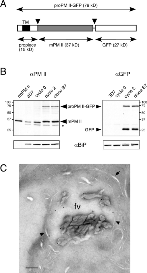 "PM II–GFP expression in B7 parasites. (A) Schematic representation of the proPM II–GFP fusion. The propiece is shown with the single transmembrane domain (TM) in black. proPM II–GFP is proteolytically processed twice (arrowheads) to generate mPM II (gray box). (B) Immunoblot analysis of PM II and GFP expression in synchronized trophozoites before and after integration of pPM2GT. SDS-solubilized protein from 107 saponin-treated trophozoites was loaded in each lane. To assess relative amounts of protein loaded, blots were stripped and reprobed with anti-PfBiP antibody (bottom). Recombinant mature PM II (rmPM II) was used as a marker in the PM II blot. The species labeled ""GFP"" comigrated with recombinant GFPmut2 (not depicted). The band denoted with an asterisk reacted with secondary anti–rabbit Ig antibody alone (not depicted). Sizes of molecular mass markers are indicated in kD. (C) Immunoelectron micrograph illustrating labeling of the food vacuole of a B7 trophozoite with affinity-purified anti–PM II. The food vacuole membrane is indicated with arrowheads, and the closely apposed parasitophorous vacuole and parasite plasma membranes are indicated with an arrow. A low magnification image of this parasite is provided in Fig. S2, http://www.jcb.org/cgi/content/full/jcb.200307147/DC1. fv, food vacuole. Bar, 200 nm."