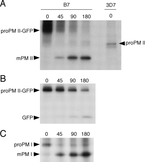 Pulse-chase analysis of proPM II–GFP maturation. B7 trophozoites were pulse labeled for 15 min with [35S]methionine and -cysteine and chased for the times indicated (min). (A) Immunoprecipitation of PM II–containing species. To indicate the position of proPM II (without GFP), this species was immunoprecipitated from labeled wild-type 3D7 parasites. In the B7 lanes, proPM II–GFP is partially obscured by high background in this region of the gel. (B) Immunoprecipitation of polypeptides containing GFP. The low intensity of the GFP band relative to proPM II–GFP is likely due to two factors: GFP contains one third of the label present in proPM II–GFP, and may be slowly degraded in the food vacuole. (C) Immunoprecipitation of pro- and mPM I. Parasites are from the same labeled populations as those in B.