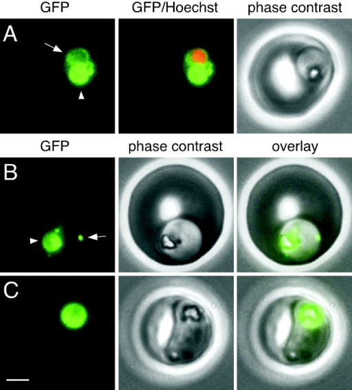 GFP fluorescence in live B7 parasites. (A) A trophozoite exhibiting GFP fluorescence in the food vacuole (arrowhead) and in a perinuclear ring (arrow). Fluorescence from the nuclear stain Hoechst 33342 is pseudocolored red. (B) A trophozoite with a fluorescent food vacuole (arrowhead) and a bright fluorescent spot (arrow) that lies at the periphery of the parasite. (C) A mature parasite displaying a large fluorescent food vacuole. Note the absence of fluorescence outside of the food vacuole. Bar, 2 μm.