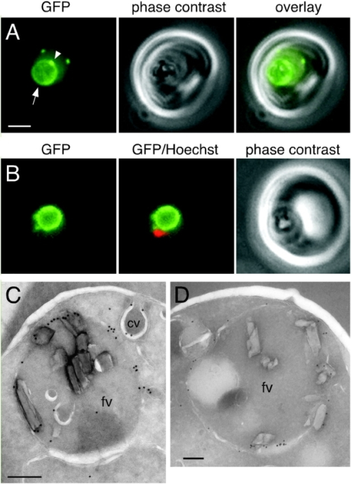 ALLN treatment results in accumulation of proPM II–GFP in the food vacuole membrane. (A) GFP fluorescence in a live B7 trophozoite treated with BFA for 2 h followed by replacement of BFA with 100 μM ALLN for a further 2 h. A bright rim of fluorescence circumscribes the food vacuole (arrow). A local concentration of fluorescence on the food vacuole membrane is indicated with an arrowhead. Two cytostomal vacuoles above the food vacuole are also visible. Bar, 2 μm. (B) A trophozoite treated as in A in which the Hoechst 33342–stained nucleus is pseudocolored red. (C and D) Trophozoites treated as in A and labeled with either (C) anti-GFP or (D) anti–PM II antibody. Low magnification images of these parasites are provided in Fig. S2. Abbreviations are given in the legend to Fig. 5. Bars, 200 nm.