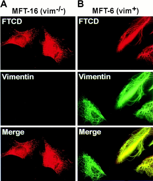 FTCD fiber formation requires vimentin IFs. MFT-16 cells derived from a vimentin knockout mouse and lacking vimentin (vim−/−) and MFT-6 cells derived from a normal litter mate and containing vimentin (vim+) were transfected with rFTCD–pcDNA. 48 h later, cells were processed for immunofluorescence using polyclonal anti-FTCD and monoclonal antivimentin antibodies. FTCD/vimentin fibers form only in the vim+ cells, whereas FTCD remains diffusely distributed in the vim−/− cells.