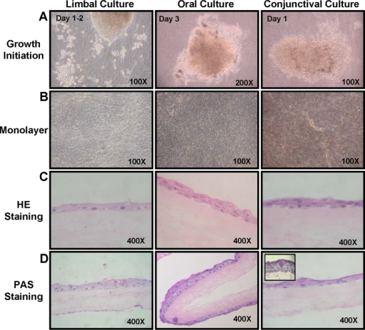 Growth initiation and morphological characteristics of limbal, oral, and conjunctival cultures. A: Growth initiation from the three explant cultures is shown. B: Confluent cultures of limbal, oral, and conjunctival cells are shown. C: Hematoxylin and eosin staining of sections of limbal, oral, and conjunctival cultures are illustrated. D: PAS staining of the three explant cultures is also shown. The inset in conjunctival culture shows goblet cells detected in native conjunctival tissue.