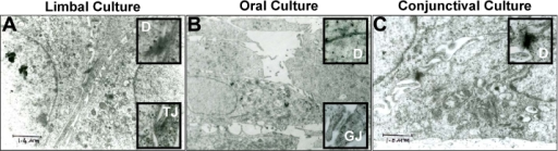 Ultrastructural studies of limbal, oral, and conjunctival cultures. A: The limbal epithelial cell is shown with the desmosomes (D) and tight junction (TJ) revealed in the inset. B: Oral epithelial cell is also shown with the desmosomes (D) and gap junction (GJ) revealed in the inset. C: Conjunctival epithelial cell is shown with just the desmosomes (D) demonstrated in the inset.