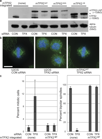 A BAC transgene containing mTPX2-LAP rescues the phenotype of TPX2-RNAi. (a) Western blot of cell lines with anti-mTPX2 antibody, which recognizes both human TPX2 and mTPX2-LAP, and anti–α-tubulin, after TPX2 or CON RNAi. hTPX2 is efficiently depleted in all lines after TPX2 RNAi, whereas mTPX2-LAP transgenes remain. The asterisk represents the position of the TPX2ΔN protein, which runs faster than the full length, as expected. (b) Immunofluorescence of U2OS cells after CON or TPX2 RNAi and TPX2WT cells after TPX2 RNAi, stained for α-tubulin (green), Cep135 (red), and DNA (blue). U2OS cells without a rescuing transgene show a characteristic phenotype after hTPX2 depletion of collapsed poles and lack of a bipolar spindle, whereas TPX2WT cells containing mTPX2-LAP after hTPX2 depletion have normal spindle morphology. Bar,10 μm. (c) Quantification of the TPX2 depletion phenotype and mTPX2-LAP rescue displayed in b. The percent of mitotic cells (n = >1,000 cells per experiment; three to five experiments for each condition) and percent bipolar spindles (n > 50) mitotic cells per experiment; three to five experiments per condition) after CON or TPX2 RNAi in U2OS or TPX2WT cells were determined. Error bars represent standard deviation. The mTPX2-LAP construct is able to rescue depletion of endogenous TPX2.