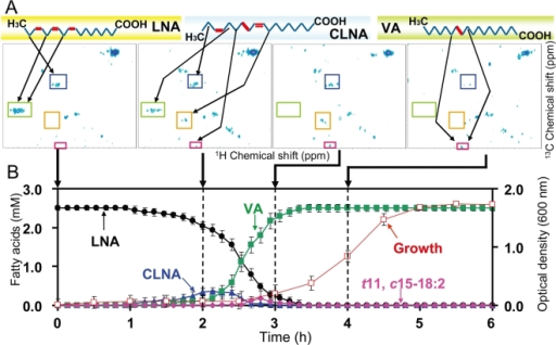 LNA metabolic dynamics of B. fibrisolvens MDT-10 analyzed by time-dependent 2D-13C-HSQC RT-MT.The NMR tube was anaerobically inoculated with B. fibrisolvens MDT-10 and U-13C18 LNA (2.5 mM) was added to follow LNA hydrogenation reactions in in vivo 2D-13C-HSQC RT-MT. A: Typical 2D HSQC spectra (sequential growth at 0, 2, 3, and 4 hours) are shown. 2D HSQC spectra were observed every 8 minutes. Arrows in upper panel indicate C-H structures corresponding to the signals. Signal intensities were calculated based on their standard curves. Arrows pointing to lower panel (B) indicate 2D HSQC spectra measured at the indicated time point. B: LNA metabolic dynamics of B. fibrisolvens MDT-10 calculated from time-dependent 2D-13C-HSQC RT-MT. LNA (black circles), CLNA (blue triangles), t11, c15–18:2 (pink diamonds), VA (green squares), and bacterial growth (open red squares) are shown. Mean values of triplicate experiments are shown.