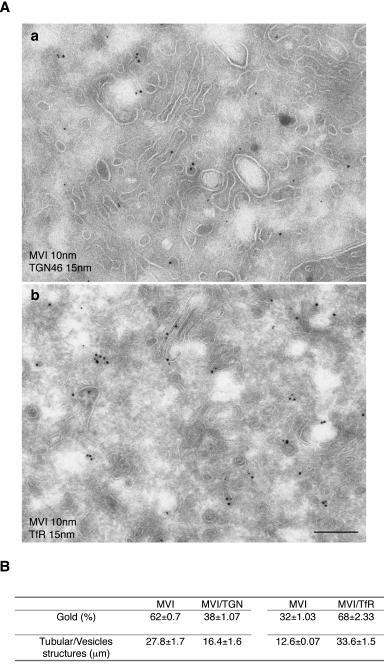 Myosin VI concentrates in perinuclear recycling endosomes in LNCaP cellsTo analyse the relative distribution of myosin VI between the recycling endosome and the TGN, cryosections of LNCaP cells were double labelled with antibodies against endogenous myosin VI (10 nm gold) and TGN46 (15 nm gold) or with antibodies against myosin VI (10 nm gold) and TfR (15 nm gold). Myosin VI and TGN46 (a) or myosin VI and TfR (b) colocalise on tubular vesicular membranes near a stack of membranes, the Golgi complex. Bar: 300 nm. (B) The relative amounts of myosin VI associated with either the recycling endosome or the TGN compartment were quantified on pictures of the Golgi area at 64K magnification. In both experiments 100 myosin molecules were assessed for colocalisation with either TGN46 or TfR on the same length of membrane (about 45 μm each). To measure the length of the membrane the number of intersections with the Photoshop 1cm grid lines were counted (Rabouille et al JCB 1995). Whereas 68 out of 100 myosin VI molecules can be found on a membrane compartment also containing the TfR, only 38 out of 100 myosin VI molecules share a membrane with TGN46.