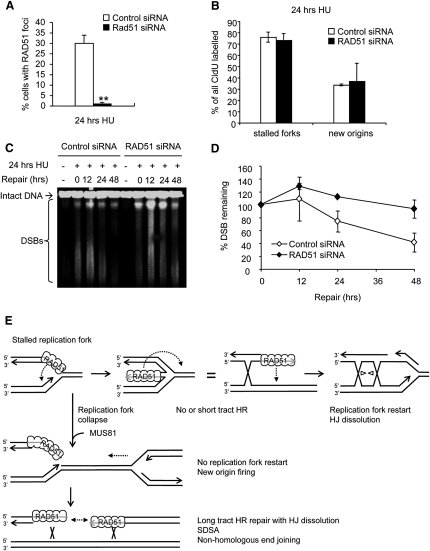 After Long Replication Blocks, RAD51 Foci Do Not Promote Fork Restart but Are Required for DNA Damage Repair(A) Percentage of control- or RAD51-depleted U2OS cells containing more than 10 RAD51 foci after 24 hr treatment with 0.5 mM HU. The means and range (bars) of two independent experiments are shown. Values marked with asterisks are significantly different from control (p < 0.01).(B) Fork restart and new origin firing after release from 24 hr treatment with 2 mM HU in control- or RAD51-depleted U2OS cells. The means and SD (bars) of three independent experiments are shown. Replication structures are shown as percentage of all CldU-labeled tracks.(C) Pulsed-field gel electrophoresis to visualize DSB remaining in control- or RAD51-depleted U2OS cells after 0, 12 24, 36, and 48 hr release from 24 hr treatment with 2 mM HU.(D) Quantification of DSB remaining in control- or RAD51-depleted U2OS cells as in (C). The means and range (bars) of two to three independent experiments are shown.(E) Model of RAD51-mediated replication fork restart and repair. RAD51 may have a similar role as recA in E. coli, promoting the formation of a Holliday Junction intermediate (chicken foot). The DNA end may then assist to restart replication that would involve recombination over a small area (short tract). Holliday Junction dissolution by the BLM-Top3 complex would dissolve any remaining double Holliday Junctions (Wu and Hickson, 2003). New origin firing rescues replication of collapsed replication forks, which are then repaired by long tract HR involving double Holliday Junction dissolution, synthesis-dependent strand annealing (SDSA) or nonhomologous end joining (see also Figure S4).
