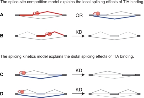 An overview of the models of TIA-dependent splicing regulation.(A) TIA proteins can directly regulate 5′ splice site competition by enhancing either intron-proximal or intron-distal 5′ splice sites. (B) TIA proteins directly regulate alternative cassette exon inclusion by enhancing 5′ splice sites. (C) TIA proteins promote the use of intron-distal alternative 3′ splice sites without directly modulating competition between the alternative 3′ splice sites. By enhancing 5′ splice site recognition, TIA proteins decrease the inclusion of the variable portion of the exon. The splicing kinetics model proposes that the splicing kinetics is affected by 5′ splice site recognition, which then indirectly affects the ability of SR proteins and other factors to define the variable portion of the distal exon. According to this model, the slower splicing kinetics in the absence of TIA increases the time available to these factors to promote inclusion of the variable portion of the exon. (D) Similar to the effect on distal variable exons, a change in splicing kinetics could contribute to the ability of TIA proteins to promote skipping of distal alternative cassette exon by binding at the upstream 5′ splice site.