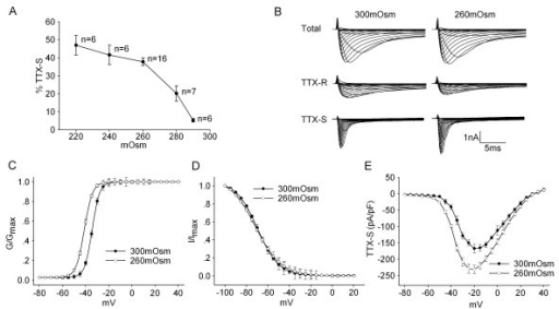 Effect of hypotonicity on TTX-S current in TG neurons. A. Plot of current densities as function of hypotonic stimuli shows that the increase of TTX-S current was conspicuous at the largest osmotic gradient. B. The typical recordings show that TTX-S current was increased by hypotonicity. Upper: total sodium current, middle: TTX-R current obtained during application of 300nM TTX, below: TTX-S current obtained by subtracting TTX-R current from total. C. Comparison of voltage-current relationship (I-V curve) for TTX-S current in isotonic and hypotonic solution. D. TTX-S current was converted to a conductance and fitted to a Boltzman function. The mid-point of activation (V0.5) was significantly more negative in hypotonic than in isotonic solution (-41.17 ± 1.09 mV vs. -34.41 ± 2.16 mV, n = 9, pared t-test, P < 0.05). However, the slope factor (k) was not significantly different between isotonic and hypotonic solution (3.54 ± 0.23 vs. 3.29 ± 0.89, n = 9, pared t-test, P > 0.05). E. Unlike G-V curve, the inactivation-voltage curve did not shift before and during hypotonic treatment. V0.5 were -69.66 ± 2.17 mV and -71.55 ± 3.21 mV (n = 10, paired t-test, P > 0.05), k were -9.86 ± 1.81 and -11.25 ± 1.03 (n = 10, paired t-test, P > 0.05) for 300mOsm and 260mOsm respectively.