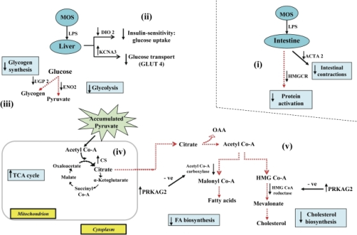 Schematic illustration of MOS effects on glucose metabo | Open-i