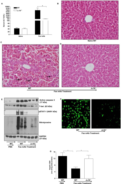 Th1 differentiating signaling in the liver is dysregulated by Vα14iNKT cells deficiency during Fas mAb-induced FLF.(a) Serum ALT levels of naïve WT mice, Fas mAb-treated WT and Jα18−/− mice at 4.5 h. (b–d) H & E staining of liver sections from naïve WT mice, Fas mAb-treated WT and Jα18−/− mice at 4.5 h. Livers from Fas mAb-treated WT mice (c) showed extensive damage with destruction of hepatocytes and distortion of normal liver architecture. The hepatocytes show hemorrhagic necrosis (white arrows) and characteristic signs of apoptosis (black arrows) including chromatin condensation and cellular shrinkage. In comparison, livers from Fas mAb-treated Jα18−/− mice showed only minimal damage and retained the normal architecture (d). Liver from a naïve WT mouse is illustrated in (b) for comparison. (e) Western blot analysis of active caspase 3, T-bet, pSTAT-1, nitrotyrosine and GAPDH expression in the liver of PBS-treated WT mice and agonistic Fas mAb-treated WT and Jα18−/− mice at 4.5 h. (f) TUNEL staining of liver sections from WT and Jα18−/− mice at 4.5 h after Fas mAb injection in which WT mice showed intense TUNEL staining characteristic of apoptosis whereas Jα18−/− mice showed less/reduced TUNEL staining. (g) HPLC measurement of hepatic GSH levels in PBS-treated WT mice and Fas mAb-treated WT and Jα18−/− mice at 4.5 h. Figure S1 in a and g are presented as mean ± s.e.m with n = 5 mice/group; *P<0.05 by one-way analysis of variance followed by Newman-Kuels post hoc test. All experiments were conducted twice.