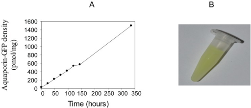 Time dependent accumulation of hAQP1-GFP fluorescence in crude membranes.A, hAQP1-GFP fluorescence in crude membranes isolated from yeast grown at 15°C at different time points after induction with galactose at time zero. Fluorescence intensity was converted to pmol GFP/mg crude membrane protein using a standard curve generated from purified yeGFP. B, crude membranes at a concentration of 6 mg/ml isolated 336 hours after induction with galactose.