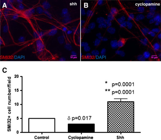 Shh has trophic effects on motor neurons. Representative microscopic images show SMI32+ cells from WT mice treated with Shh 250 ng/ml had larger somata and more arborization (A) compared to cyclopamine-treated cells (B). It was shown that the average number of SMI32+ cells per field after treated with 250 ng/ml Shh was significantly higher than that control and cyclopamine (Shh 11 ± 1 vs control 5 ± 0, ** p = 0.0001; Shh 11 ± 1 vs cyclopamine 3 ± 0, * p = 0.0001; cyclopamine 3 ± 0 vs control 5 ± 0, δ p=0.017; C).