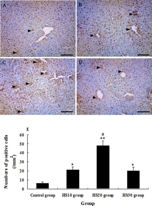 Photomicrographs of immunohistochemical staining of CYP1A2 in the liver of unheated control mice and heat shock-pretreated mice at 0 h after CCl4 administration. The arrowheads indicate the CYP1A2-positive cells in the liver of mice in the control group (A), HS10 group (B), HS20 group (C) and HS30 group (D). E: Numbers of CYP1A2 + cells in the liver of mice in the control group and preheated groups; tissue sections that were at least 12 mm2 were counted for each mouse. (Scale bar: 50 µm).