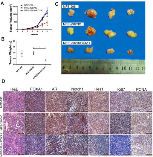 Tumorigenicity assay in nude mice. A: The growth rates of tumors formed from untransfected MFE-296 cells (MFE-296) and MFE-296 cells transfected with NC (MFE-296/NC) or shFOXA1 (MFE-296/shFOXA1). After injection, tumor volumes were calculated every seven days. B and C: Six weeks after injection of MFE-296, MFE-296-NC, and MFE-296-shFOXA1 cells, tumors were removed, and the tumor weights and volumes were determined. Arithmetic means and SD are shown. D: Staining with hematoxylin and eosin (H&E) or immunohistochemical staining for FOXA1, AR, Notch1, Hes1, Ki67, and PCNA in mouse tumor tissues (immunohistochemical staining, 200×). *p < 0.05 compared with the NC group.
